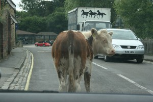 cow in road