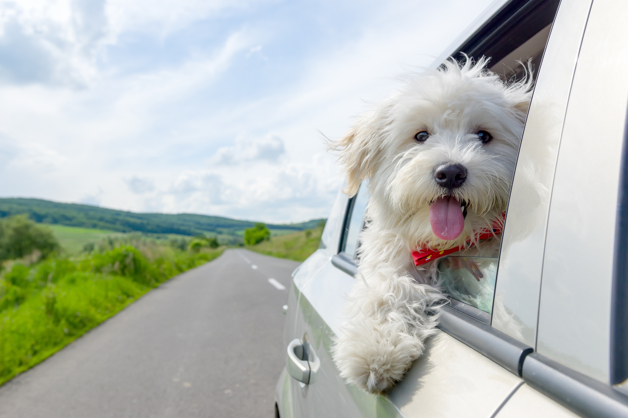 Bichon Frise Looking out of car window, traveling
