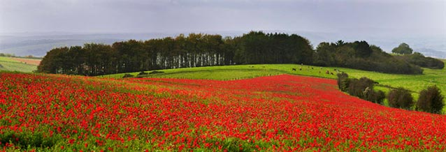Poppies, Dorset
