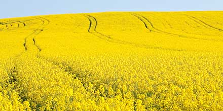 Oil seed rape is one of many feedstocks used to produce biodiesel