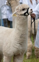 Alpaca, Royal Welsh Show